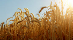 Sun through golden wheat ears with a pale blue sky as background Stock Footage