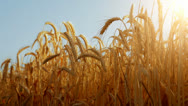 Stock Video Footage of sun through golden wheat ears with a pale blue sky as background