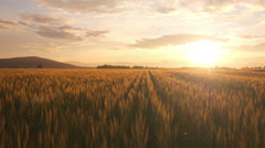 AERIAL: Flight over the wheat field in sunset - stock footage