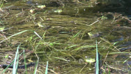 Stock Video Footage of Little Water Frog( Rana lessonae) in spring pond. Spawning time.