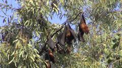 Fruit eating  bats Megachiroptera on tree in Amritsar park,India Stock Footage
