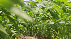 Down a Row of a Cornfield Stock Footage