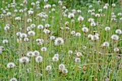 dandelion field, nature, environment - stock photo