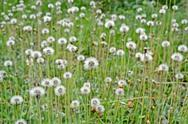 Stock Photo of dandelion field, nature, environment