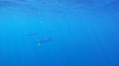 Free Swimming Dolphin Mahi Mahi 1 Stock Footage