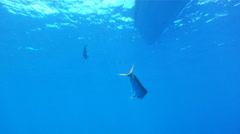 Saltwater Fishing for Mahi Mahi Stock Footage