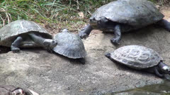 Turtles or Tortoises, Shot in 3D playable as 2D Stock Footage