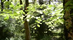 Beech tree leaves backlit by sunlight Stock Footage