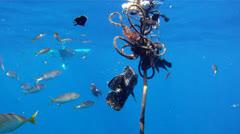 Triple Tail: Underwater Stock Footage