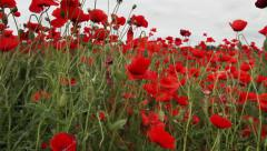 Dull day red poppies field Stock Footage