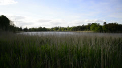 Reed bed on calm lake in Summer Stock Footage