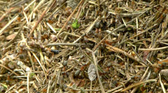Ants (formica rufa) carrying a dead mosquito Stock Footage