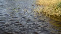 Close up of reed bed on calm lake in Summer Stock Footage