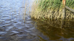 Close up of reed bed on calm lake in Summer - stock footage