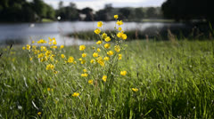 Buttercup meadow in Summer with lake in background Stock Footage