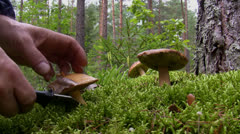 Blueing bolete mushroom picking in the forest Stock Footage