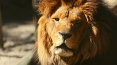 King of beasts. Stock Footage