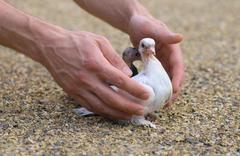 Pigeon nestling bird white on sand and man hands holding birds enter to the n Stock Photos