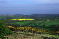 yellow field near whitby - stock photo