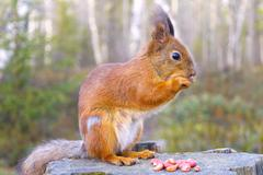 Squirrel with nuts and summer forest on background wild nature thematic (sciu Stock Photos