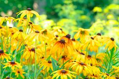 summer floral background of rudbeckia flowers colorful (asteraceae family). t - stock photo