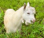 White goatling at grass village field farm animal Stock Photos