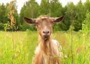 Brown goat in green village field farm animal Stock Photos