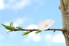 Flower apricot tree on branch white Stock Photos