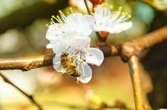 Bee on apricot tree taken pollen spring Stock Photos