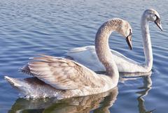 Wild swan couple Stock Photos