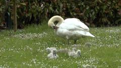 Swan Itching with Cygnets Beside - stock footage