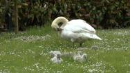 Stock Video Footage of Swan Itching with Cygnets Beside