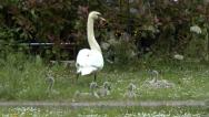 Stock Video Footage of Swan with Cygnets Eating Grass 2
