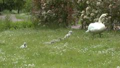 Stock Video Footage of Swan with Cygnets Eating Grass 6