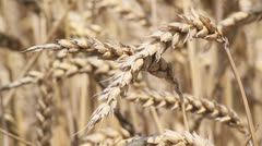 Wheat Grains Stock Footage