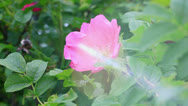 Stock Video Footage of Wild rose bush with sunbeam