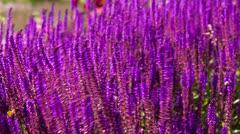 Lavender flower bed Stock Footage