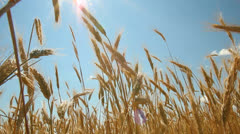 Wheatfield, sunny day - stock footage