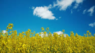 Stock Video Footage of Rapeseed with cloud time-lapse