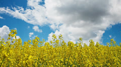 Rapeseed with cloud time-lapse - stock footage