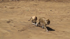 A flock of macaques Stock Footage