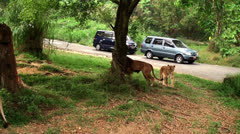 Pride of Lions at safari park. Stock Footage