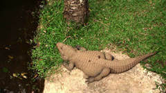 Crocodile basking in the sun - stock footage