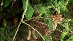 Wild Cheetah at safari park. Stock Footage