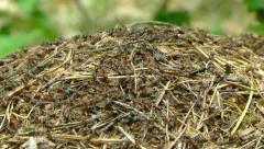 Ants and two bigger, black ant queen on anthill.(Formica rufa). Stock Footage