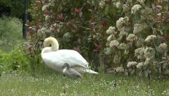 Swan and Cygnets Emerging from Shrubbery Stock Footage