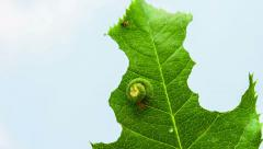 Caterpillar eating a leaf Stock Footage