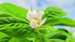 Medlar flower growing timelapse Stock Footage
