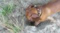 The dog, dachshund, digs a hole HD Footage