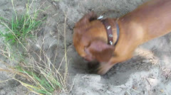 The dog, dachshund, digs a hole - stock footage